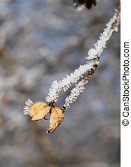 frozen spindle fruit - close photo of sear fruit of common...
