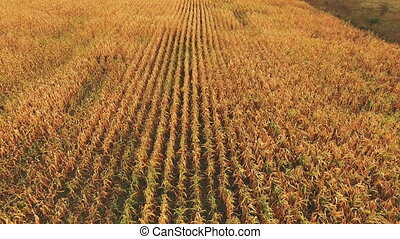 Aerial view of ripe corn field background.