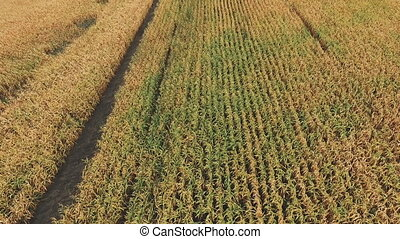 Aerial view of green corn field.