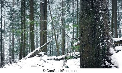 Passing Pretty Forest Tree In The Snow - Dolly shot moving...