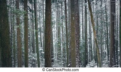 Passing Beautiful Tall Forest Trees In Snowfall - Moving...