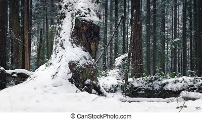 Passing Huge Old Tree In Snowfall - Moving slowly past a...