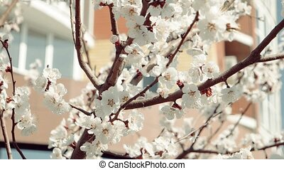 Apple tree branches in early Spring covered with beautiful flowers
