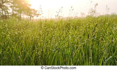 Grass with Dew Drops at Sunrise. - Grass with Dew Drops at...