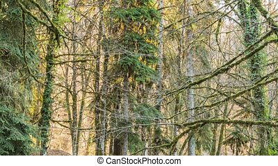 Trees in the forest, mountain Abkhazia