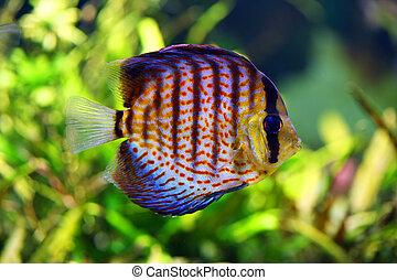 discus fish in the aquarium - beautiful colorful discus fish...
