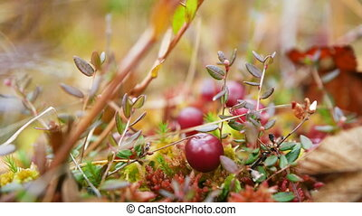 Cranberries on moss in the forest nature