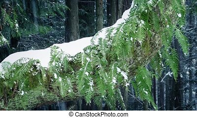 Ferns On Tree Trunk In Snowfall - Tree trunk covered in snow...