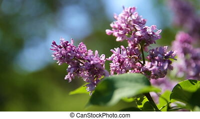 Lilac bush. Natural spring background with blossoming flowers.