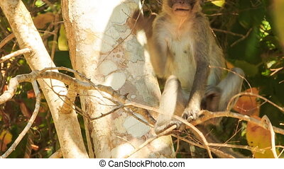 Closeup Monkey Sits in Tree Nibbles Small Stick in Park -...