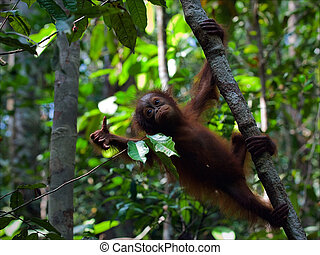 Cub of the orangutan on a branch. The kid of the orangutan,...