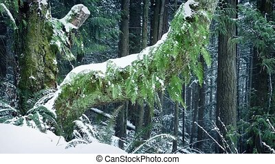 Old Tree With Ferns Growing Off It In Snowfall