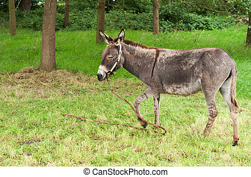 Donkey - donkey tied with a rope in grassnear the forest