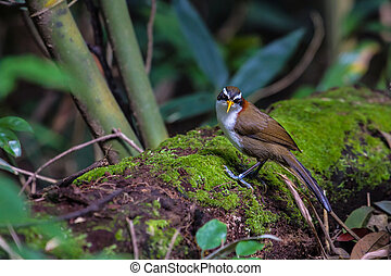 White-browed Scimitar-babbler in nature - White-browed...