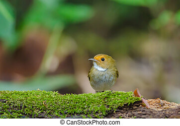 Rufous-browed Flycatcher perch on branch - Rufous-browed...