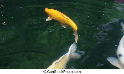 Variety ornamental Koi carp fishes swim in pond - Variety...