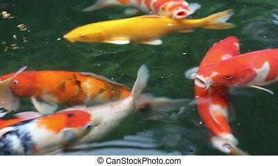 Koi fishes swim to the surface of water, search for oxygen