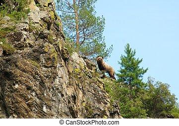 wild little Brown Bear, Ursus arctos, up the hill