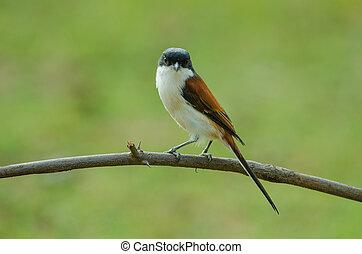 Burmese Shrike perching on a branch - Burmese Shrike (Lanius...