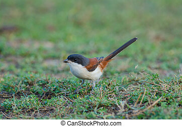 Burmese Shrike on ground - Burmese Shrike (Lanius...