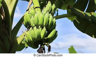 Bundle of bananas - A bundle of bananas ripen on the palm on...