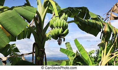 Banana palm tree on a blue sky background, Vietnam