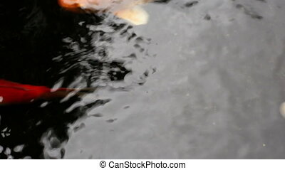 Ornamental Koi fishes swim in the shade of pond - Closeup...