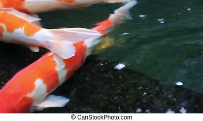 Ornamental Koi fishes swim in stone floor pond - Ornamental...