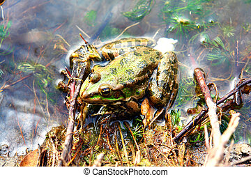 Green Frog sitting in shallow water 2