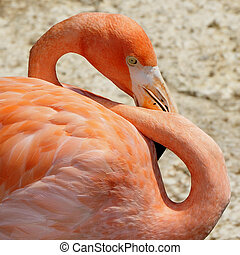Chilean Flamingo - close up of a pink Chilean Flamingo