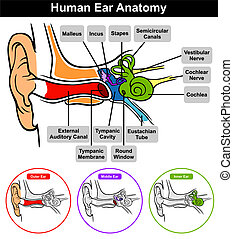 Human Ear Anatomy with classification outer middle inner and...