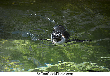 Penguin swimming - African penguin, also called the...