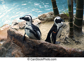 Penguins - African penguins, also called the black-footed...