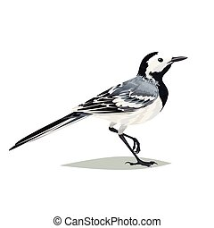Realistic bird Wagtail on a white background. - Realistic...