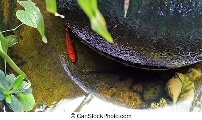 Red Koi fish swimming in water garden pond under large water...