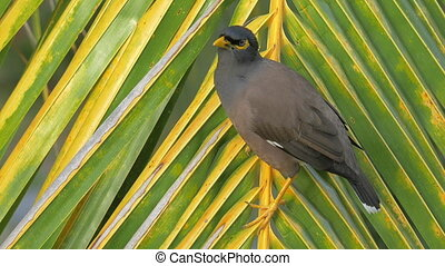 Mynah bird on palm branch - Close-up shot of mynah on palm...