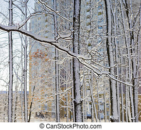 Branches and trunks of deciduous trees covered with snow...