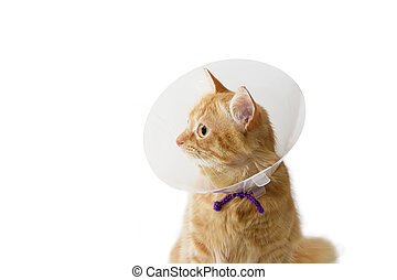 Red cat, wearing a Elizabethan collar on a light background...