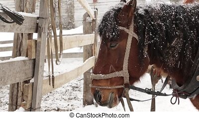 Horse brown face under snow on farm- close-up - Horse brown...