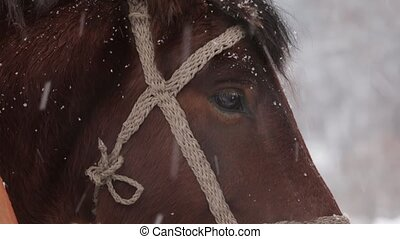 Horse brown face under snow - close-up - Horse brown face...