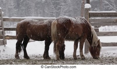 Two Horses under snow at the farm at cold winter