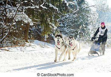 husky sled dog racing - Sled dog racing. musher dogteam...