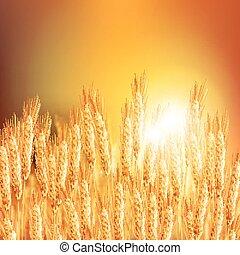 Wheat ears 20161226 2 - Backdrop of ripening ears of yellow...