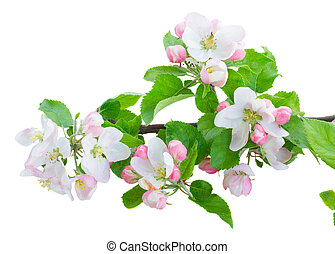 Apple tree blossom with green leaves isolated on white...
