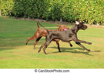 German Shorthaired Pointers, playing in a field