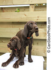 German Shorthaired Pointer Sisters - German shorthaired...