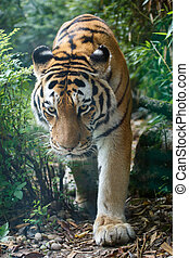 Closeup view of a Amur tiger in the forest
