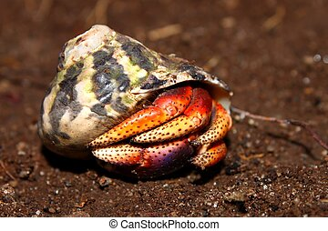 Hermit Crab on St Kitts - A Hermit Crab hides in a shell on...