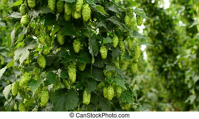 Branch of ripe hop cones on the field with slight breeze....