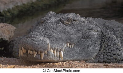 Close up view of fat crocodile head lying in Zoo, without...